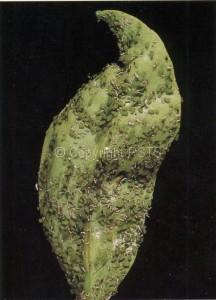 Afide verde_Fig.3