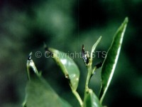 Calocoris trivialis_Fig.3