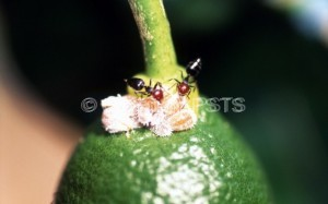 Crematogaster  scutellaris_Fig.1
