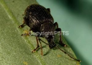 Otiorrhynchus cribricollis_Fig.2