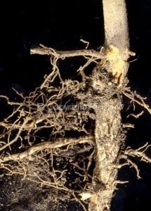 Otiorrhynchus cribricollis_Fig.3