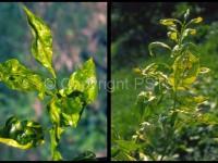 Phyllocnistis citrella_Fig.3