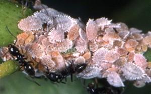 Planococcus citri_Fig.1