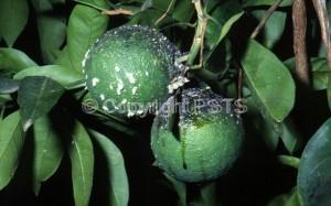 Planococcus citri_Fig.3
