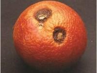 Antracnosi degli agrumi