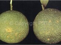 Brevipalpus Phoenecis