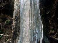 Marciume basale secco5