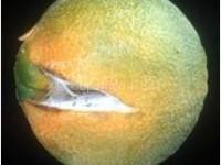Spaccatura dei frutti3