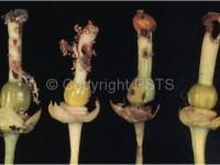 Tignola degli agrumi, verme della zagara Prais Citri3