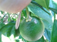 Cotonello su frutto