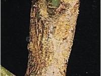 Acaro giallo 2