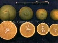 Citrus variegated chlorosis