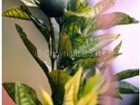 Citrus variegated chlorosis 3