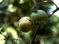 Spaccatura dei frutti FORSE3