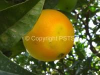 ovodeposizioni mosca della frutta